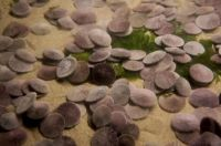 TopRq.com search results: sand dollars