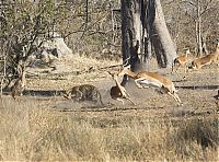 TopRq.com search results: leopard against an antelope