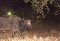 TopRq.com search results: Genet riding buffalos and rhinoceros, Hluhluwe–iMfolozi Park, Durban, Zululand, KwaZulu-Natal, South Africa