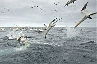 TopRq.com search results: Gannets diving for fish, Shetland Islands, Scotland, United Kingdom