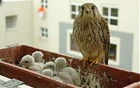Fauna & Flora: falcons and fledglings at the window