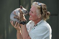 Fauna & Flora: Wombat orphan finds a new family, Taronga Zoo, Sydney, New South Wales, Australia