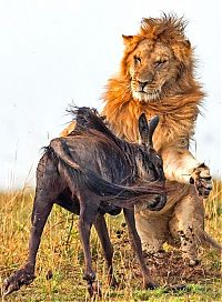Fauna & Flora: lion against a wildebeast