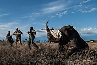 TopRq.com search results: Rescuing rhinoceros, Kruger National Park, South Africa