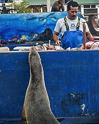 Fauna & Flora: sea lion waiting for a fresh fish