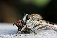 asilidae, assassin robber fly