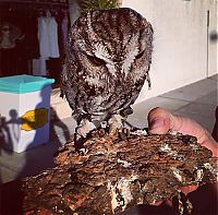 Blind owl with stars in eyes, Wildlife Learning Centre, Sylmar, California
