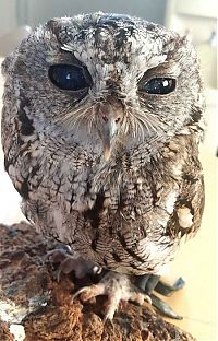 TopRq.com search results: Blind owl with stars in eyes, Wildlife Learning Centre, Sylmar, California