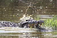 TopRq.com search results: turtle escapes from a crocodile