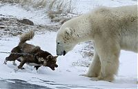 TopRq.com search results: dog against a polar bear