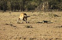 TopRq.com search results: jackal teases a male lion