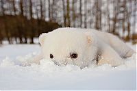 polar bear cub with a snow