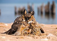 TopRq.com search results: Swimming owl by Steve Spitzer, Lake Michigan, Loyola Park, Chicago, United States