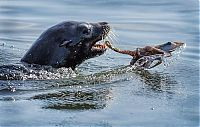 TopRq.com search results: seal having an octopus dinner