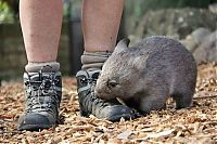 TopRq.com search results: Wombat orphan finds a new family, Taronga Zoo, Sydney, New South Wales, Australia