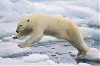 TopRq.com search results: polar bear photography