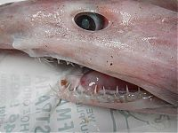 TopRq.com search results: Goblin shark catch, Green Cape, New South Wales, Australia, South Pacific Ocean
