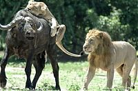 TopRq.com search results: lioness hunting buffalo while lion mating