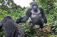 TopRq.com search results: gorilla punched a photographer