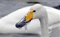Fauna & Flora: rescuing swan with a frozen beak