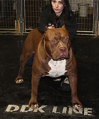TopRq.com search results: huge pit bull terrier
