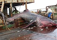 TopRq.com search results: giant basking shark catch