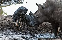 TopRq.com search results: rhino saved a small zebra from the mud