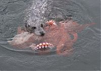 TopRq.com search results: Harbor seal against a giant octopus, Ogden Point, Victoria, British Columbia, Canada