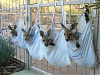 TopRq.com search results: orphaned baby kangaroos