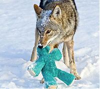 TopRq.com search results: wild coyote with a toy
