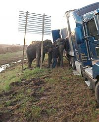 elephants saving a truck from the mud