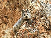 TopRq.com search results: Ili pika rabbit