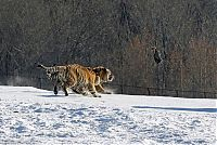 TopRq.com search results: tigers hunting a bird