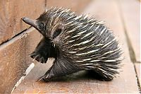 TopRq.com search results: Baby echidna, Taronga Zoo, Sydney, New South Wales, Australia