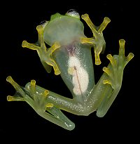 TopRq.com search results: bare-hearted glass frog