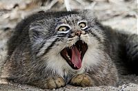 TopRq.com search results: pallas cat manul yawning