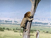 TopRq.com search results: lion climbs tree to escape a buffalo herd