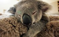 TopRq.com search results: baby koala hugs mother during surgery
