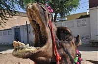 Fauna & Flora: camel mouth