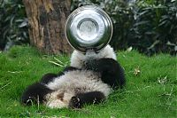 Fauna & Flora: Giant Panda Breeding, Chengdu Research Base, Chengdu, Sichuan, China