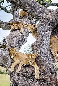 TopRq.com search results: lions on the tree