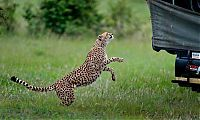 Fauna & Flora: cheetah jumps into the jeep