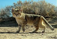TopRq.com search results: sand cat kitten