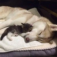 TopRq.com search results: husky dog and the kitten
