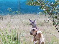 TopRq.com search results: orphaned baby kangaroo with a teddy bear