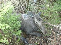 TopRq.com search results: moose yearling rescued