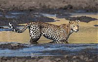 TopRq.com search results: leopard fishing in the mud