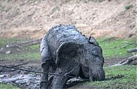 TopRq.com search results: elephant rescued from the mud