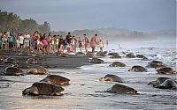 TopRq.com search results: arribadas, sea turtles synchronised nesting disturbed with tourists