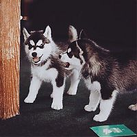 TopRq.com search results: little husky dog
